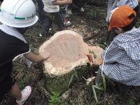 木こりツアー伐採へ参加